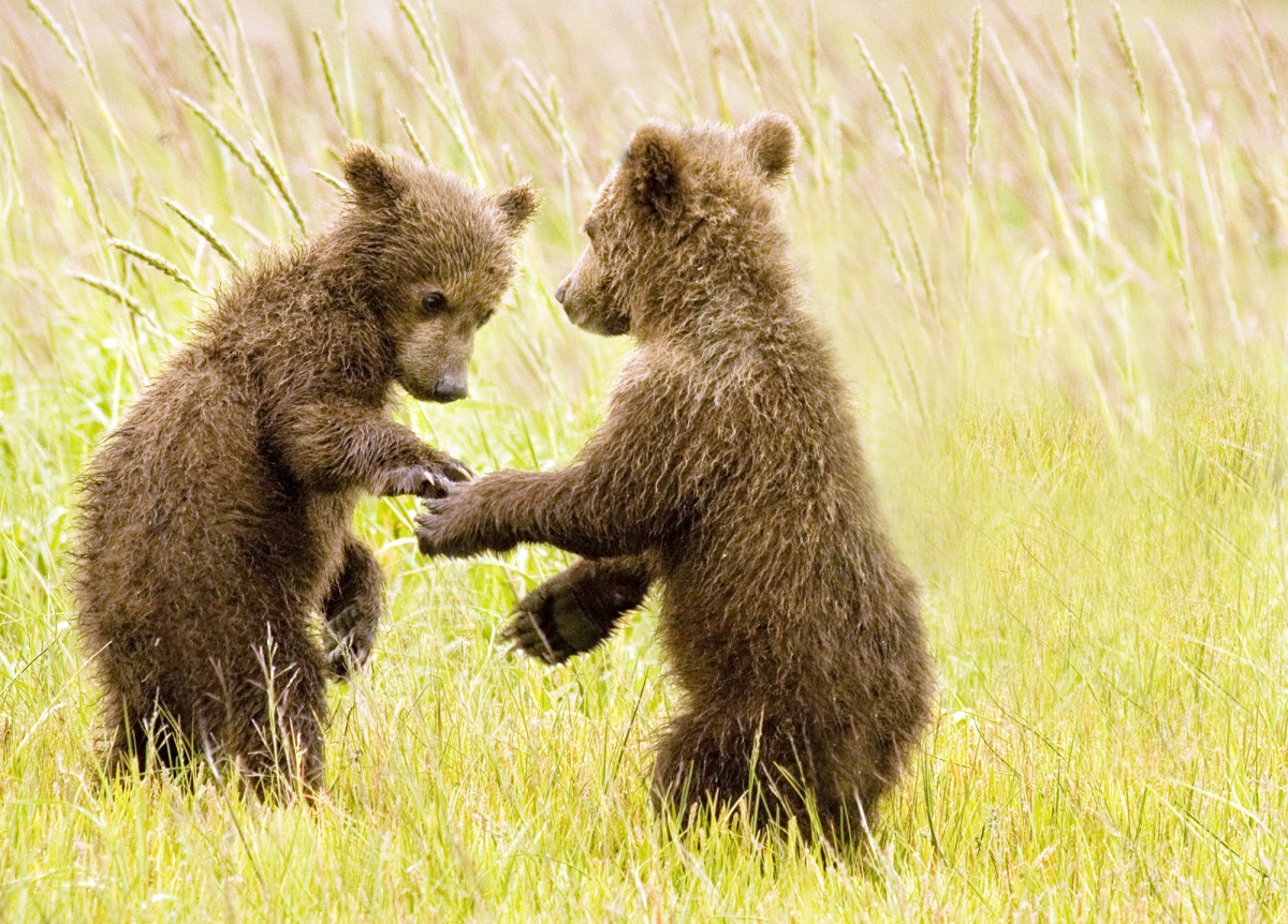 bear clubs hold paws as they walk through tall grass