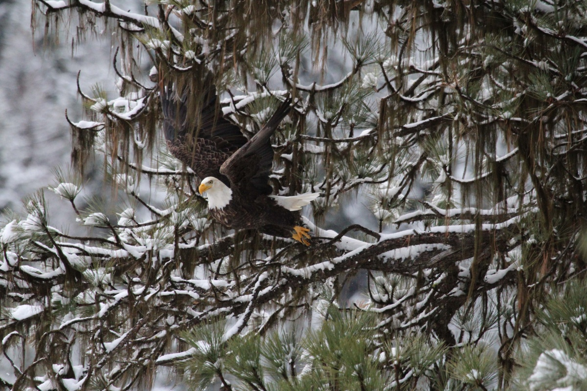 A bald eagle takes off from a snow covered tree limb.