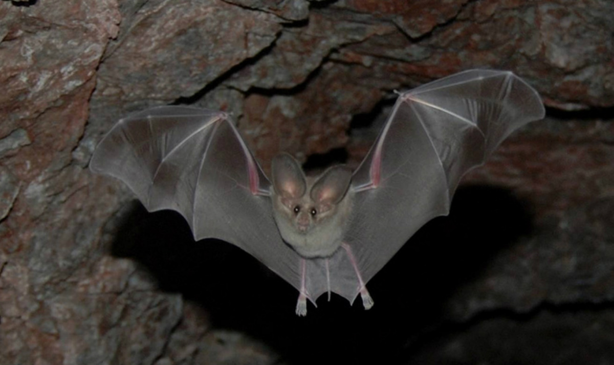 A dark brown bat opens up its full wingspan as it flies in a cramped stone cave.