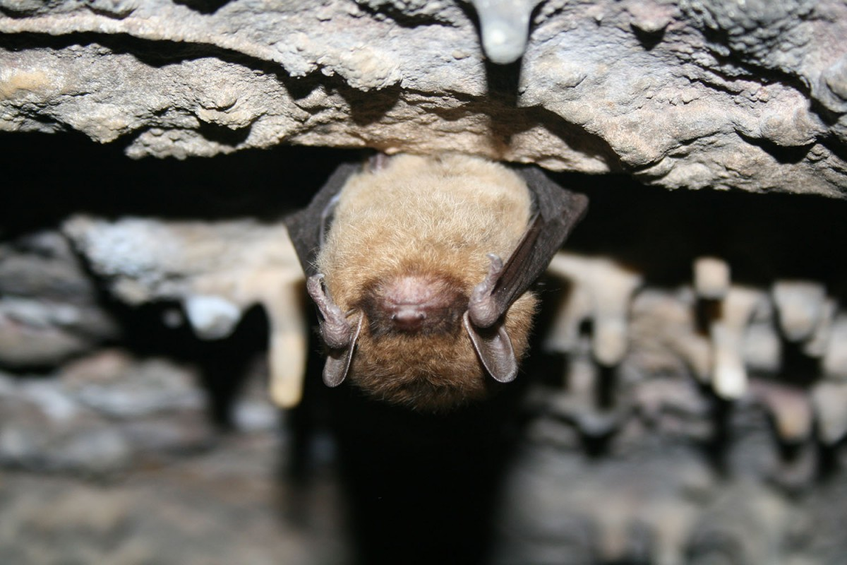 A small, fuzzy bat hanging upside down in a cave is illuminated by the bright white flash of a camera.