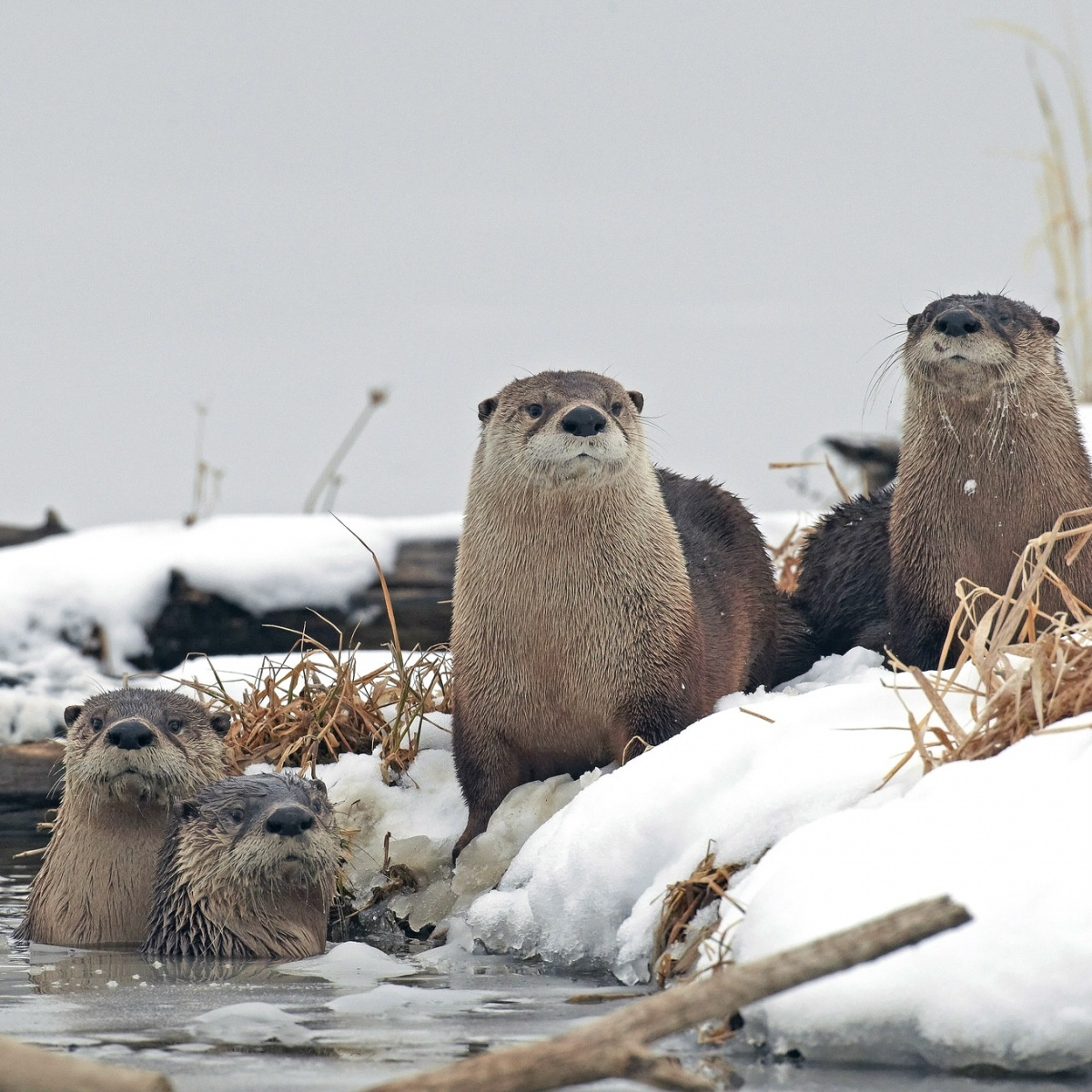 Four furry, gray otters stand on the snowy bank of an icy river.