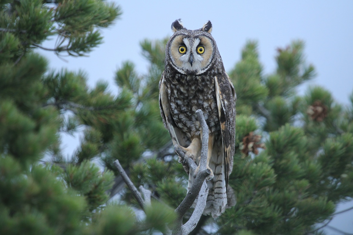 A long-eared owl perches in a tree. Its yellow eyes look out, seemingly surprised.