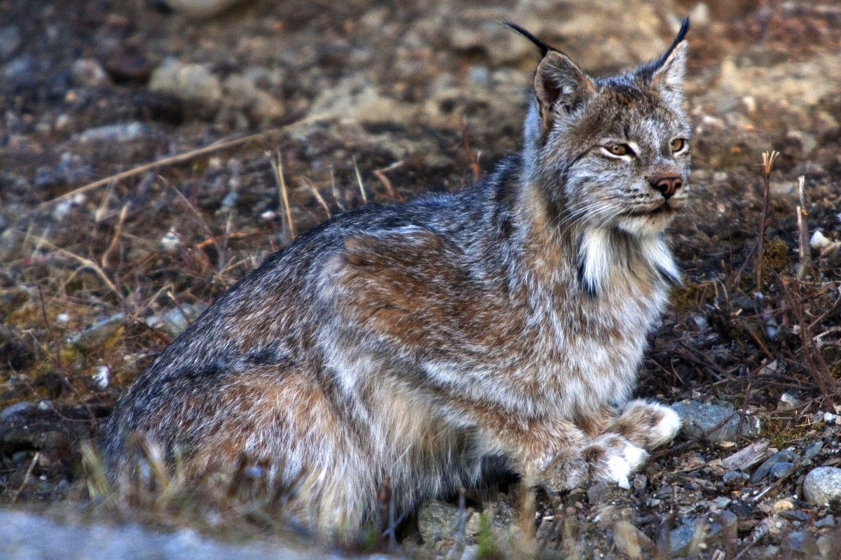 Lynx sits on ground looking into the distance.