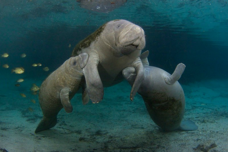 Three manatees swim together, playing in the crystal clear blue water.