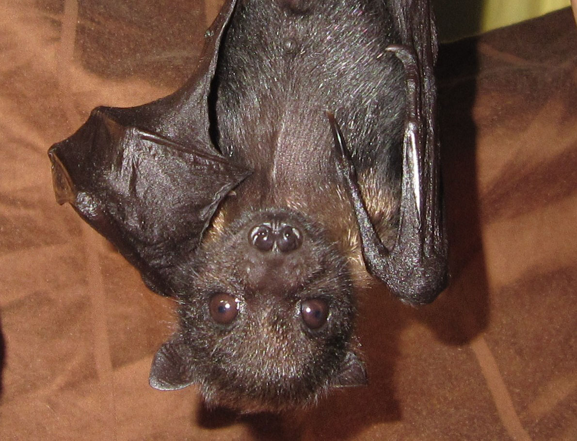 A black bat with large eyes hangs upside down.