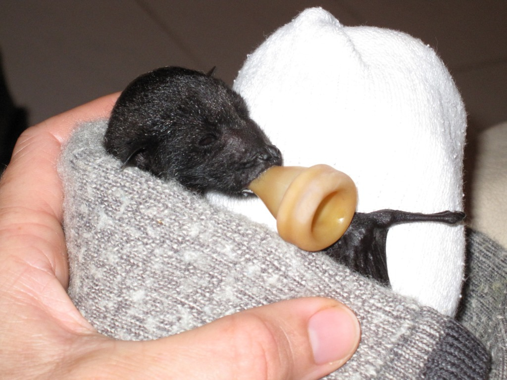 Small black bat pup is held in a human hand and wrapped in a grey sock, the tip of a baby bottle in its mouth.