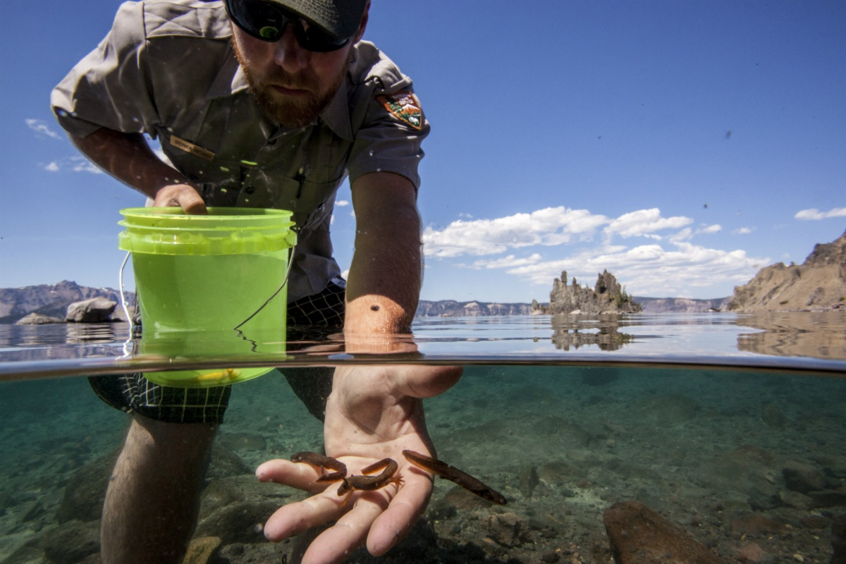 A white male park ranger stands in knee deep water and releases several small newts from a bucket into the lake.