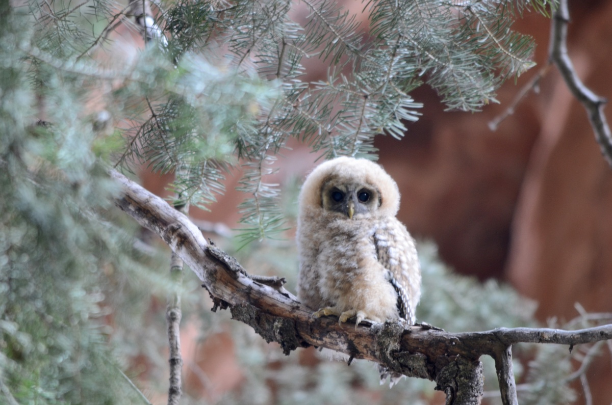 A young, furry Mexican Spotted Owl sits on a branch as its black eyes stare directly back into the camera.
