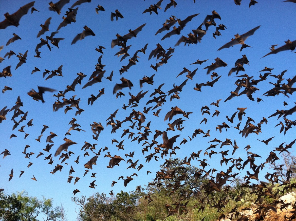 Dozens of dark brown bats take flight against an azure sky with the tops of green trees cropped in the background.