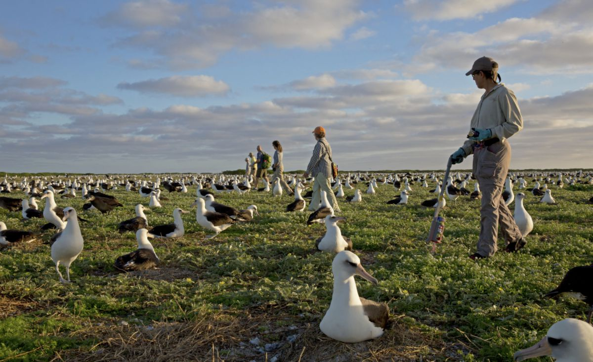 Volunteer albatross counters systematically count nests, resulting in record breaking nest count numbers for the 2015 hatch year. Photo by U.S. Fish and Wildlife Service.