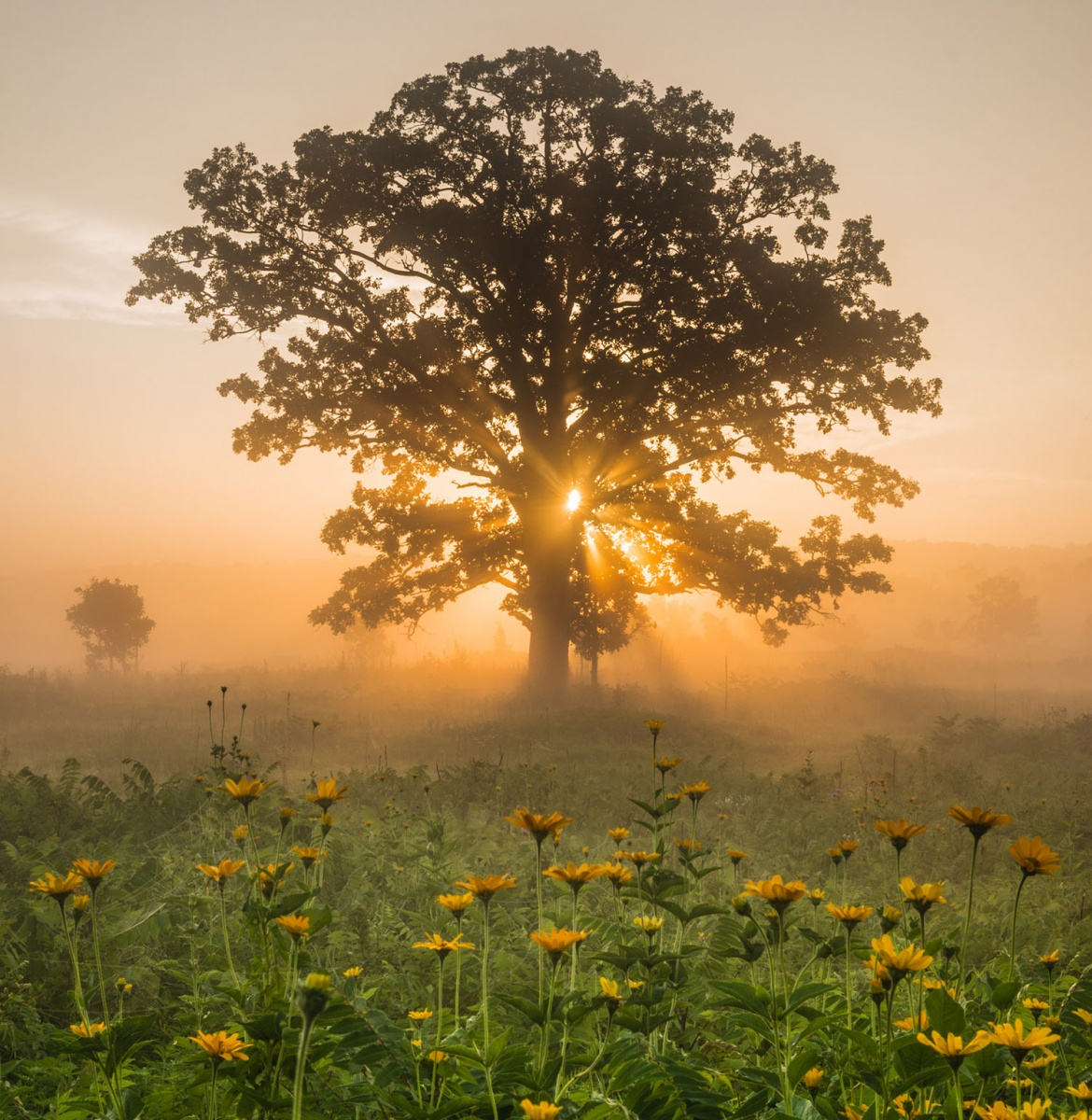 light streams through a tree in a field of yellow flowers
