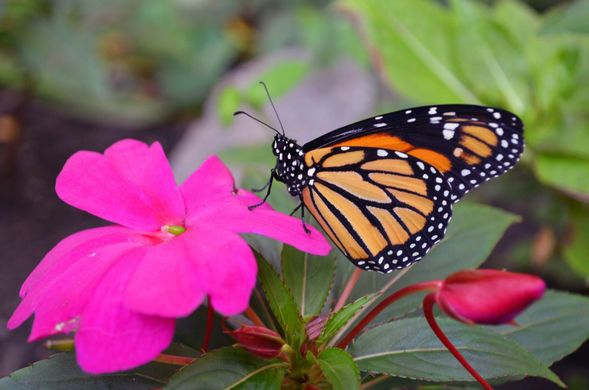 A monarch butterfly atop a pink flower dries its wings after hatching from chrysalis. Photo by U.S. Fish and Wildlife Service.