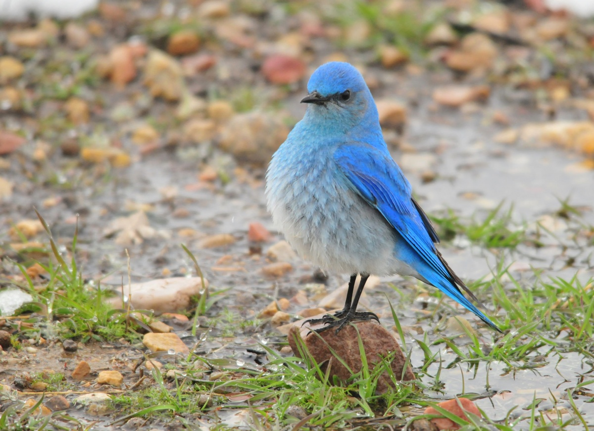 A bird with bright blue feathers stands proudly on a small rock next to a puddle.