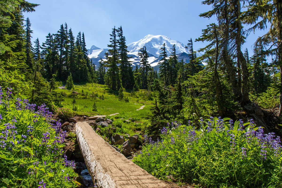 snow-capped mountain with a hiking trail through green forest with purple flowers