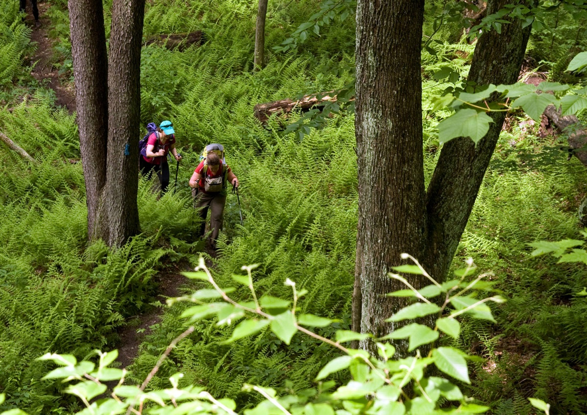 two hikers walk through a forest of lush ferns and tall trees