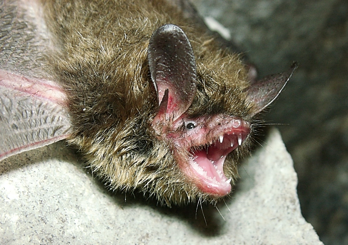 A long-eared bat opens its mouth to an array of sharp teeth.