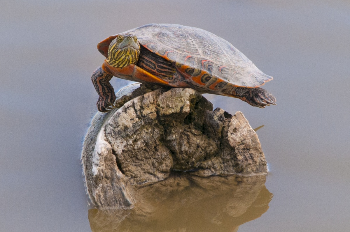13 Turtle Ly Awesome Photos For World Turtle Day U S