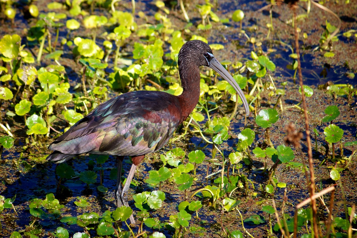 A bird with glossy feathers stands on a marsh with green plants.