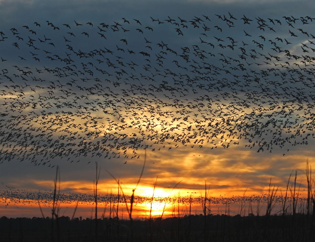 Hundreds of birds flying over a field with a sunset in the background