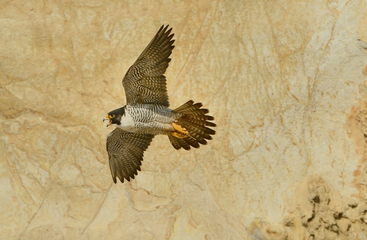 A brown falcon with a stout body and wide wings flies by a tan rock cliff.