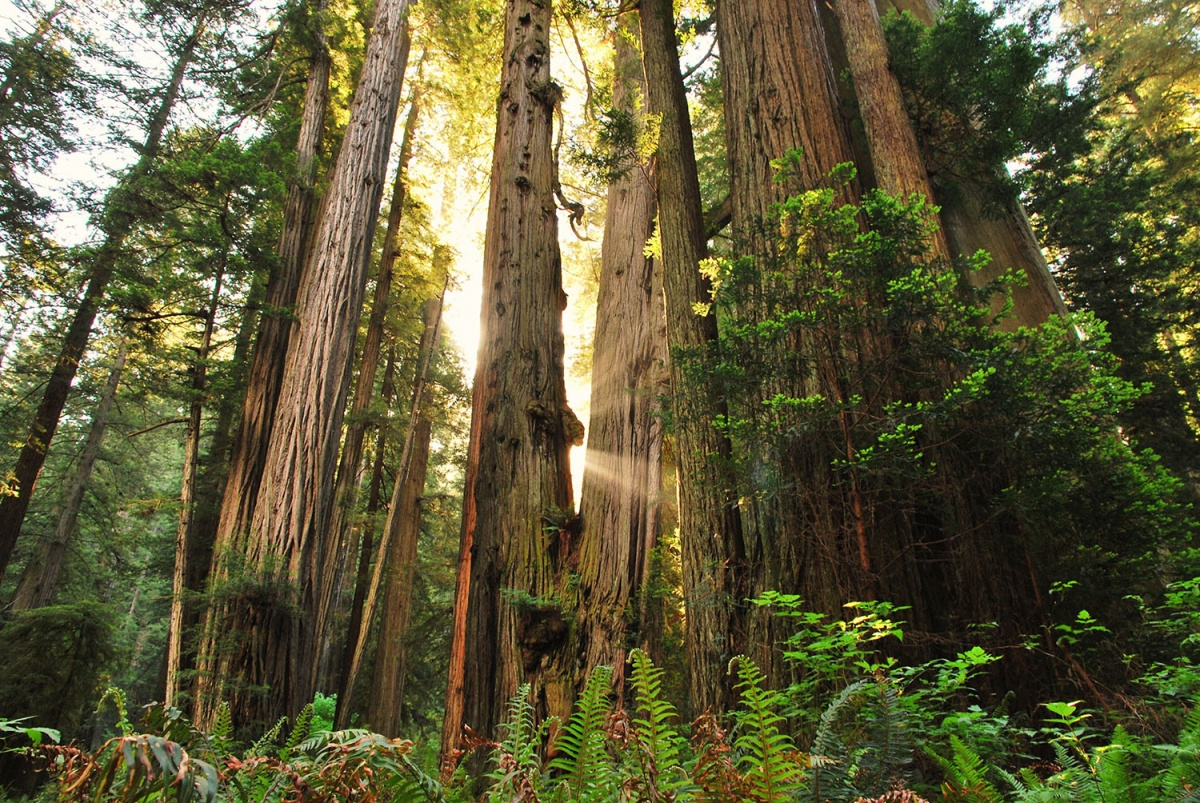 Sun light shines through the opening between many Redwood tree trunks, green shrubbery surrounding the trees