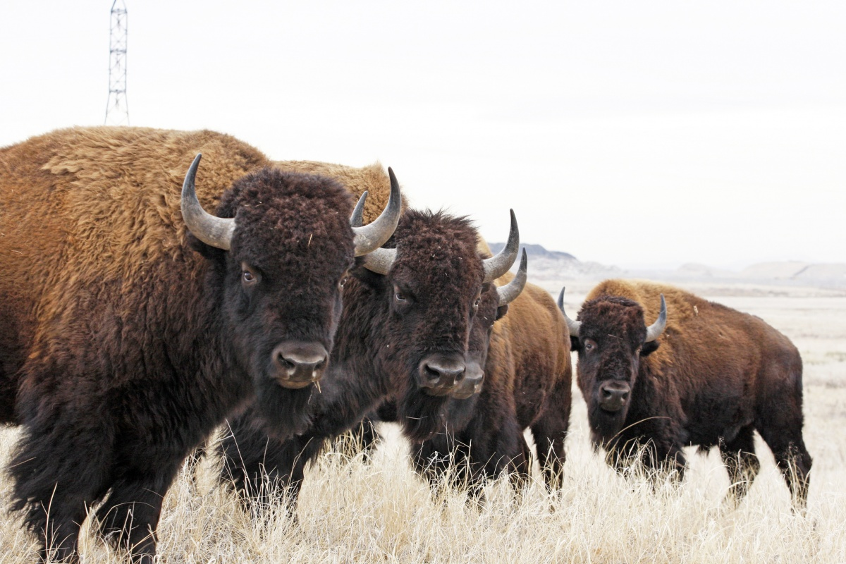 Several large bison standing in a line.
