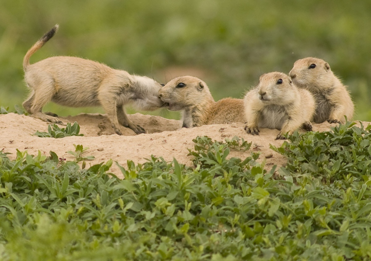 Four prairie dog pups perched on sandy bank covered in green plants. One pup nibbles at the other playfully.