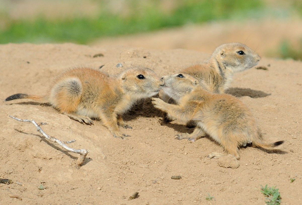 prairie dogs touch teeth before heading into their burrow