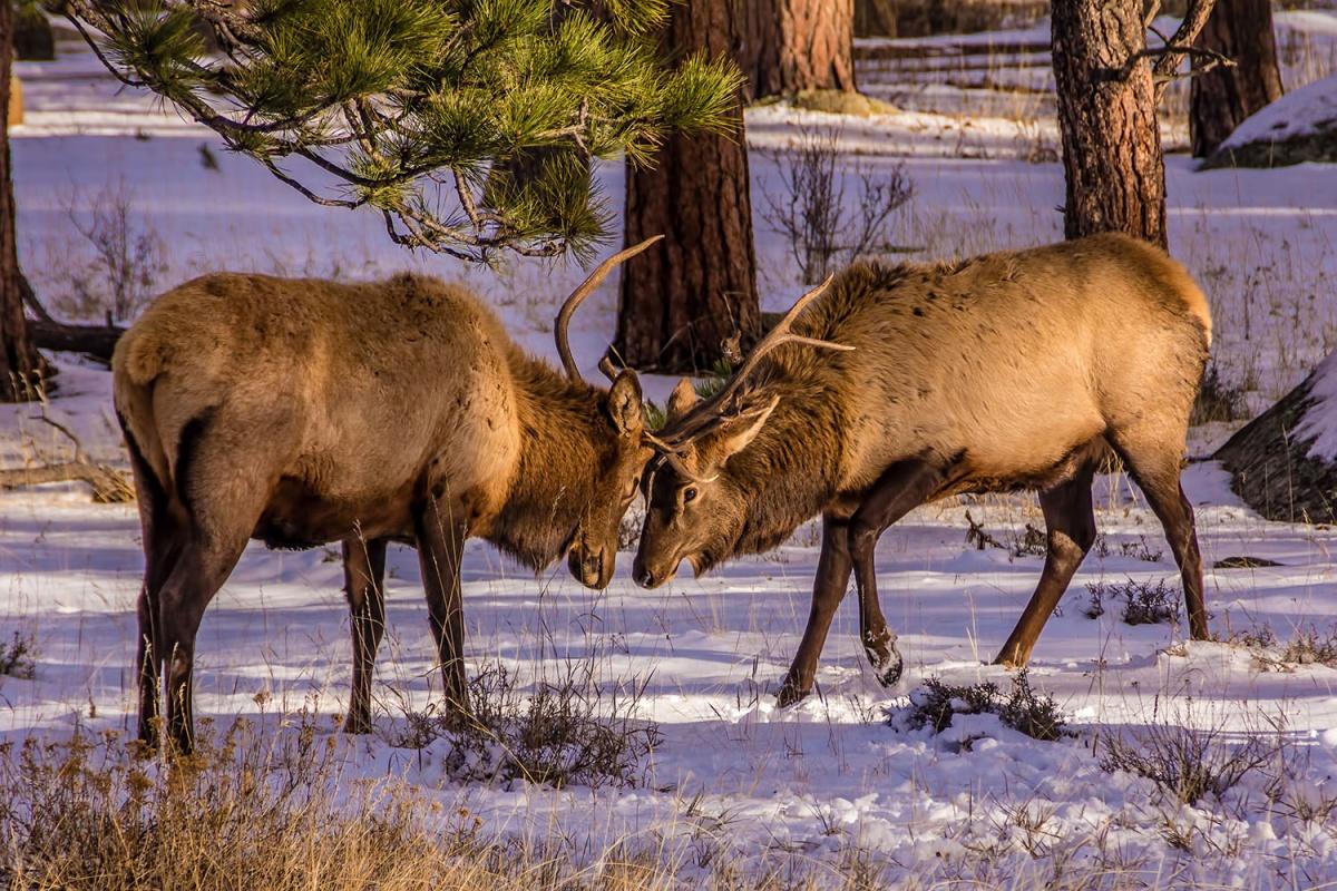 Two elk lock antlers