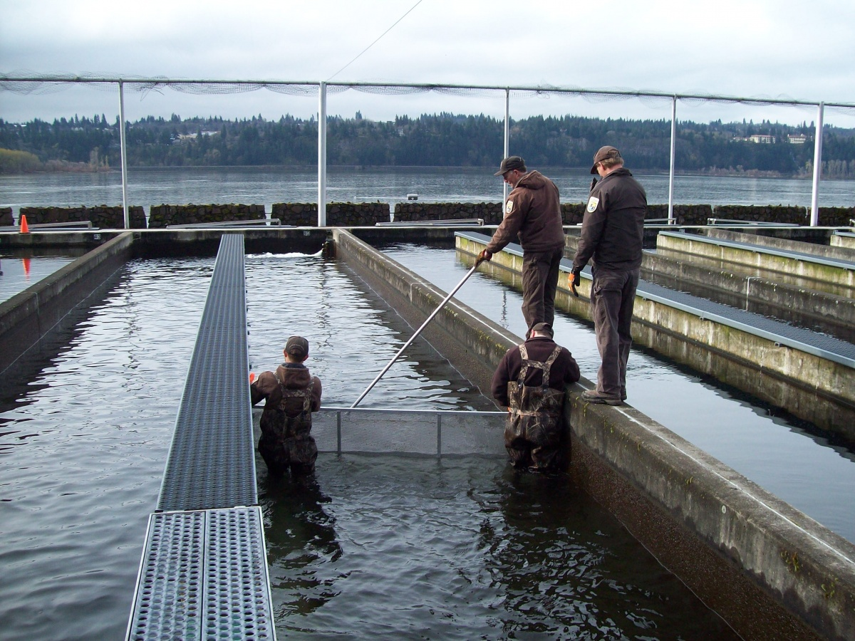 Four volunteers help guide railing for salmon at the fish hatchery.
