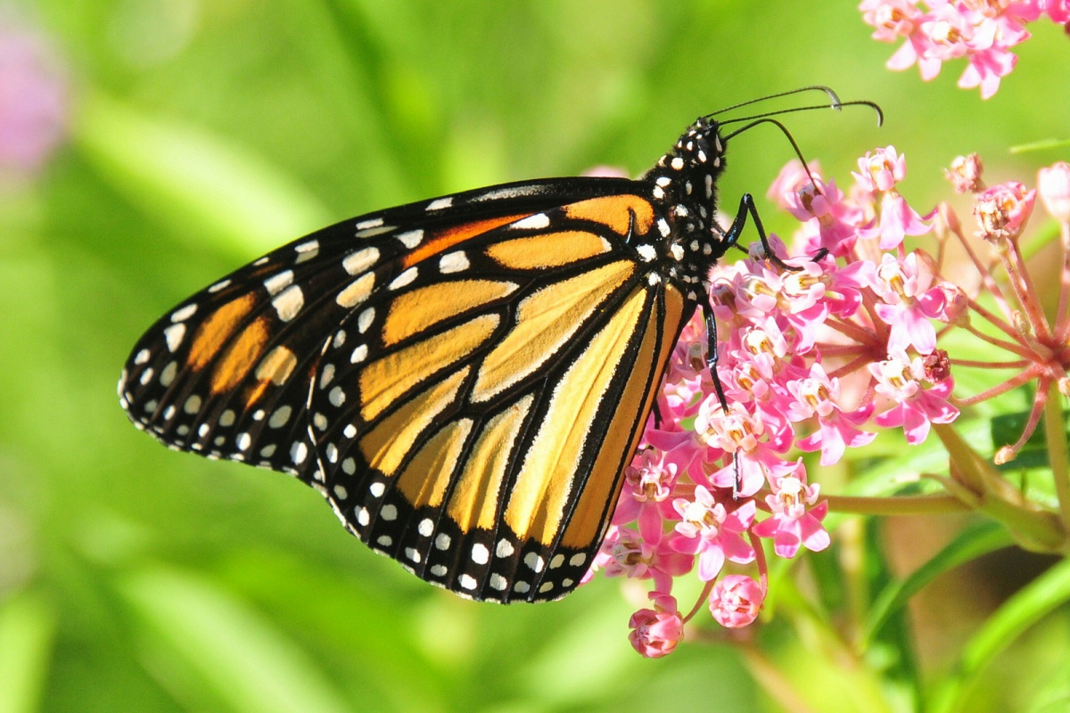 An orange and black monarch butterfly stands on a milkweed plant with a bundle of small pink flowers.