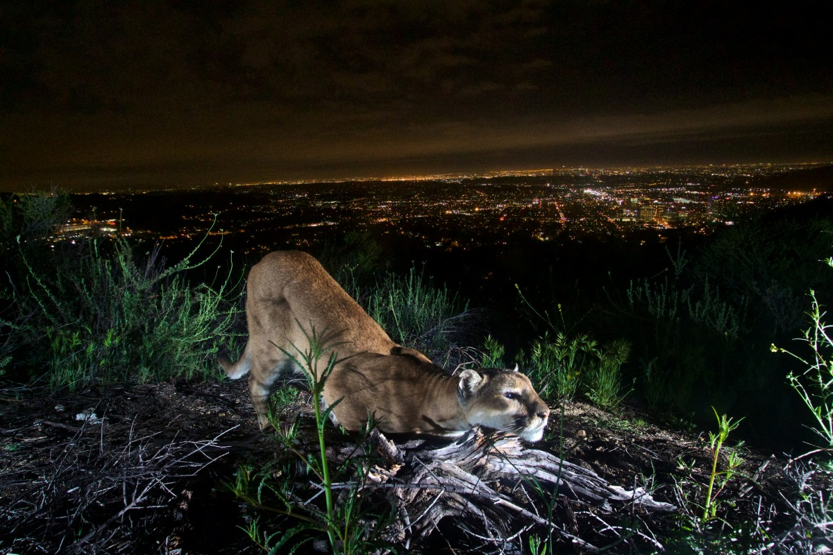 Adult female mountain lion cheek-rubbing to leave her scent on a log with the city's lights in the background.