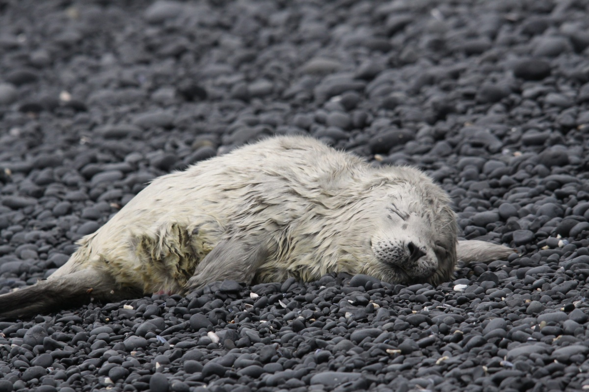 White seal pup lies with eyes closed on a beach covered in black stones.