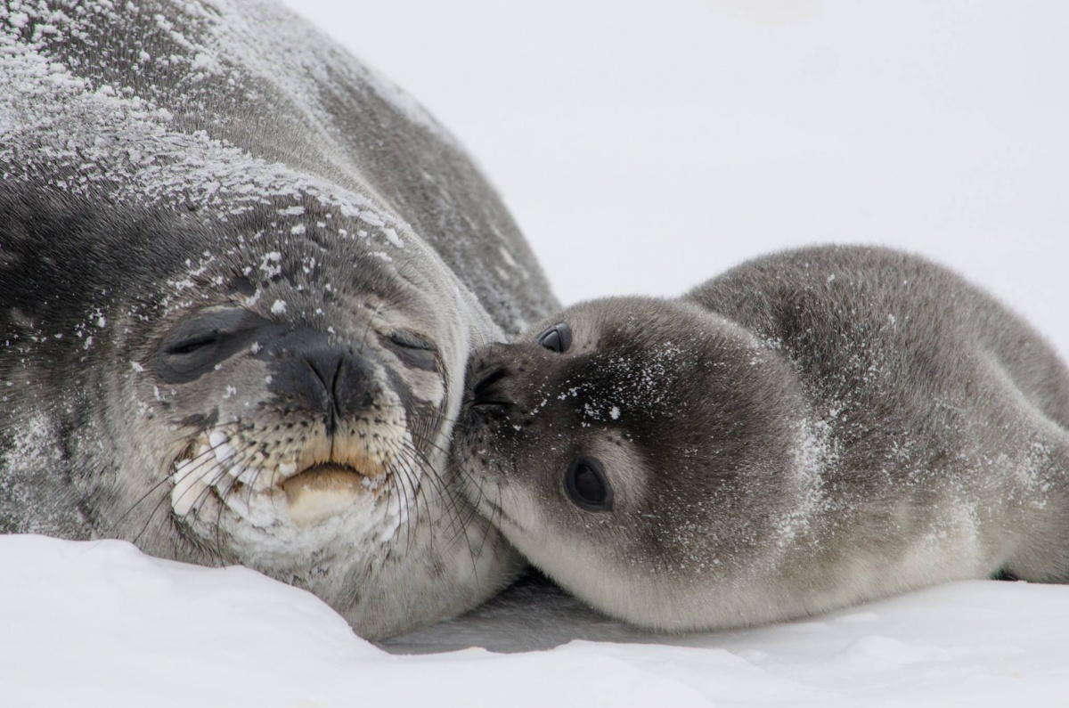 A seal pup kisses its mother as they lay in the snow
