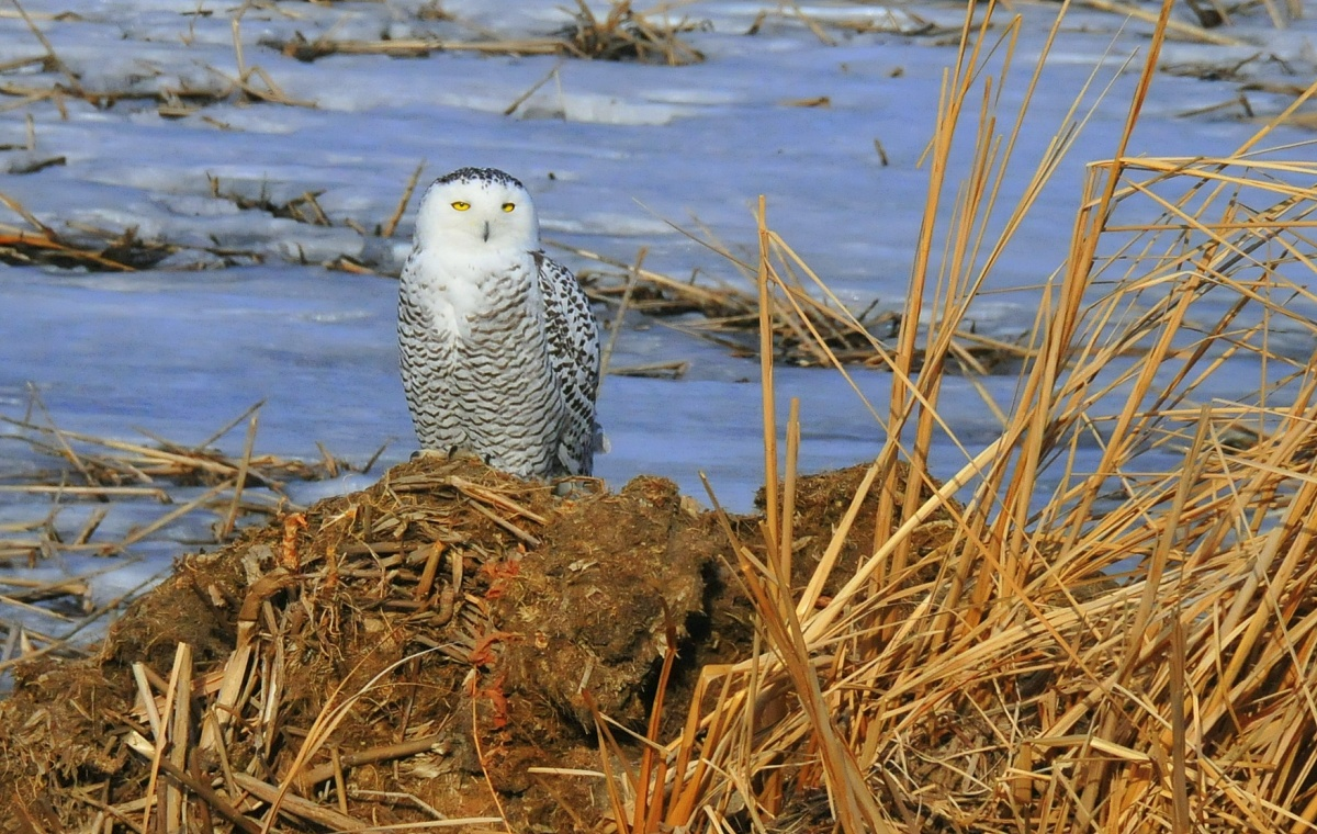 A snowy owl perches on the bank of a river as its yellow eyes peer out.