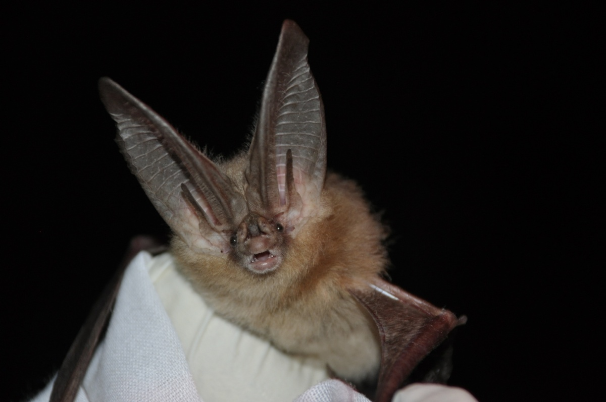 A head shot of an open-mouthed bat with ears about three times as large as its head.