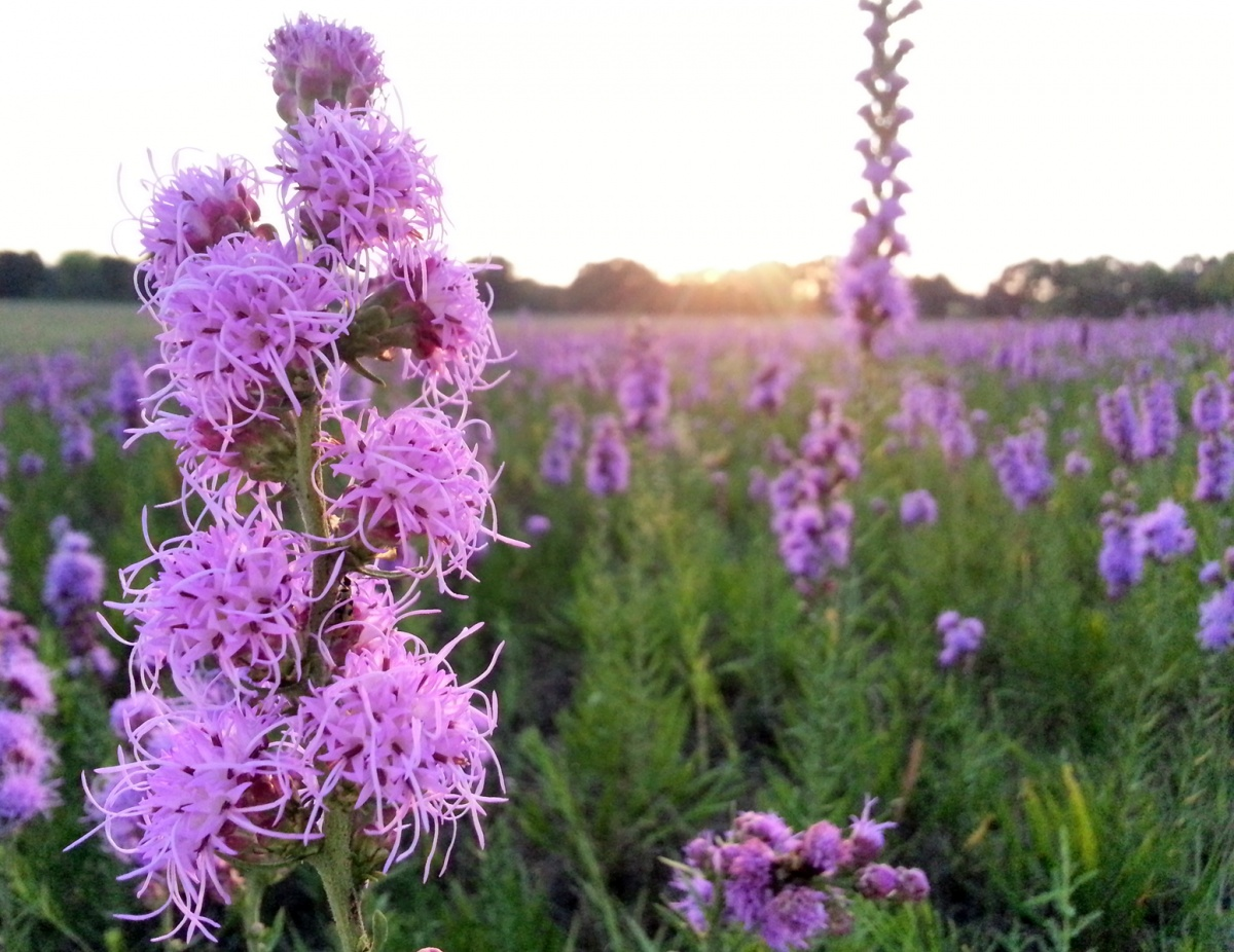 Tall plants with bundles of spiky purple flowers grow in a wide green field.