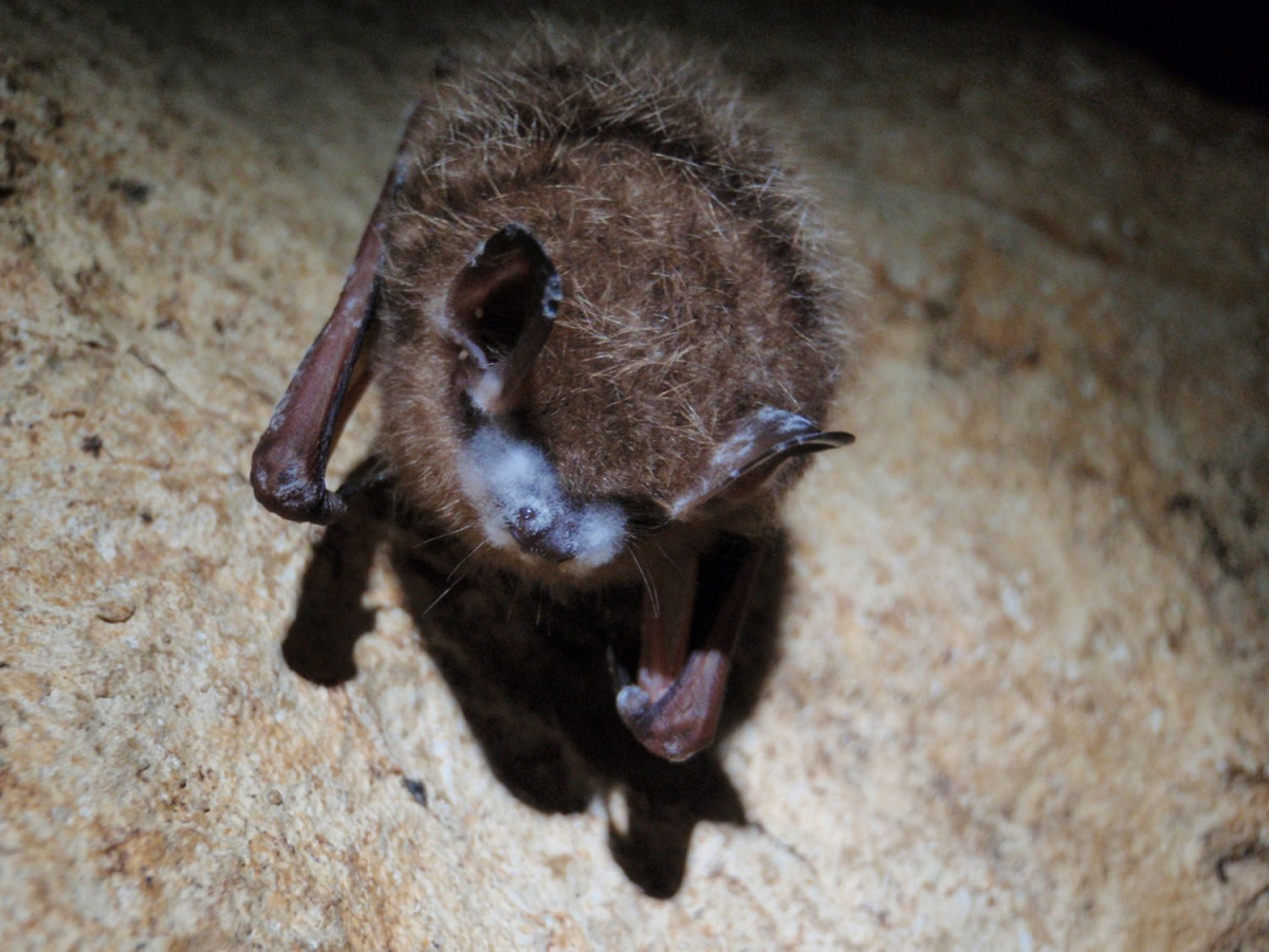 A small bat clinging to a cave wall has spots of white fungus on its nose and ears.