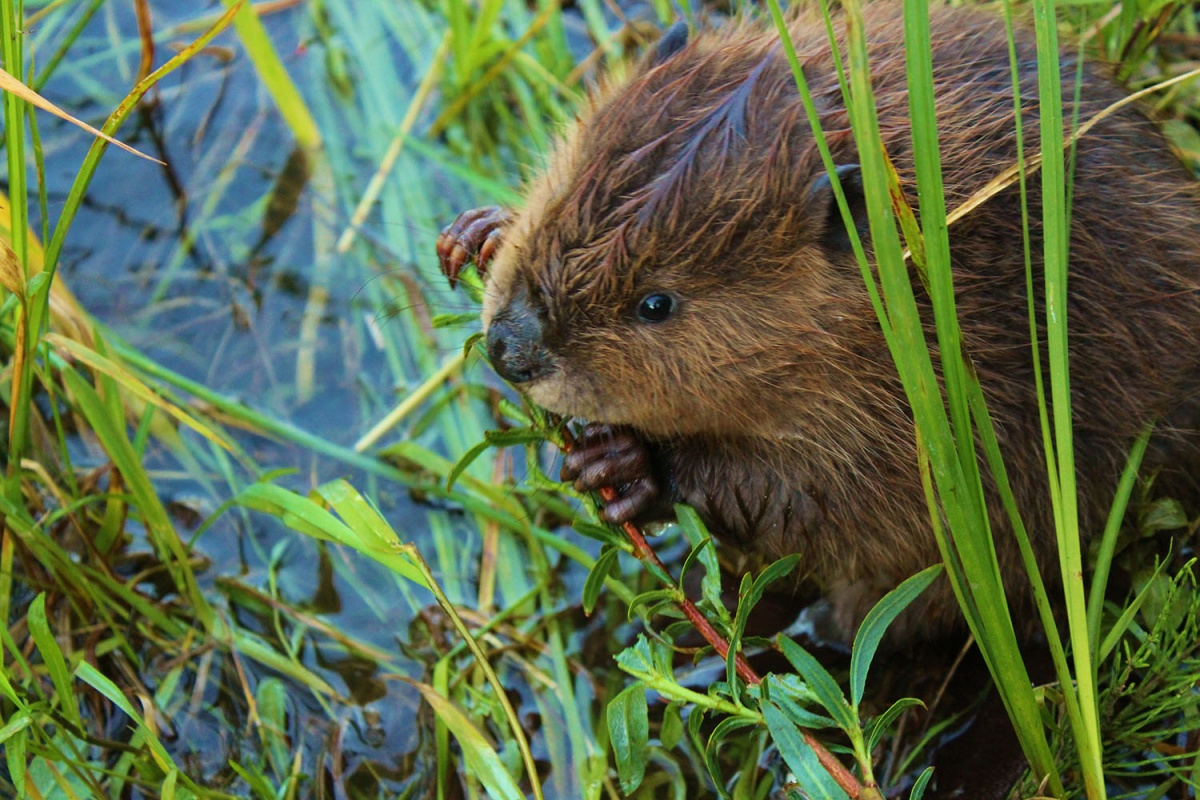 Beaver pup nibbles on small stick as green plants surround him on the edge of  a body of water