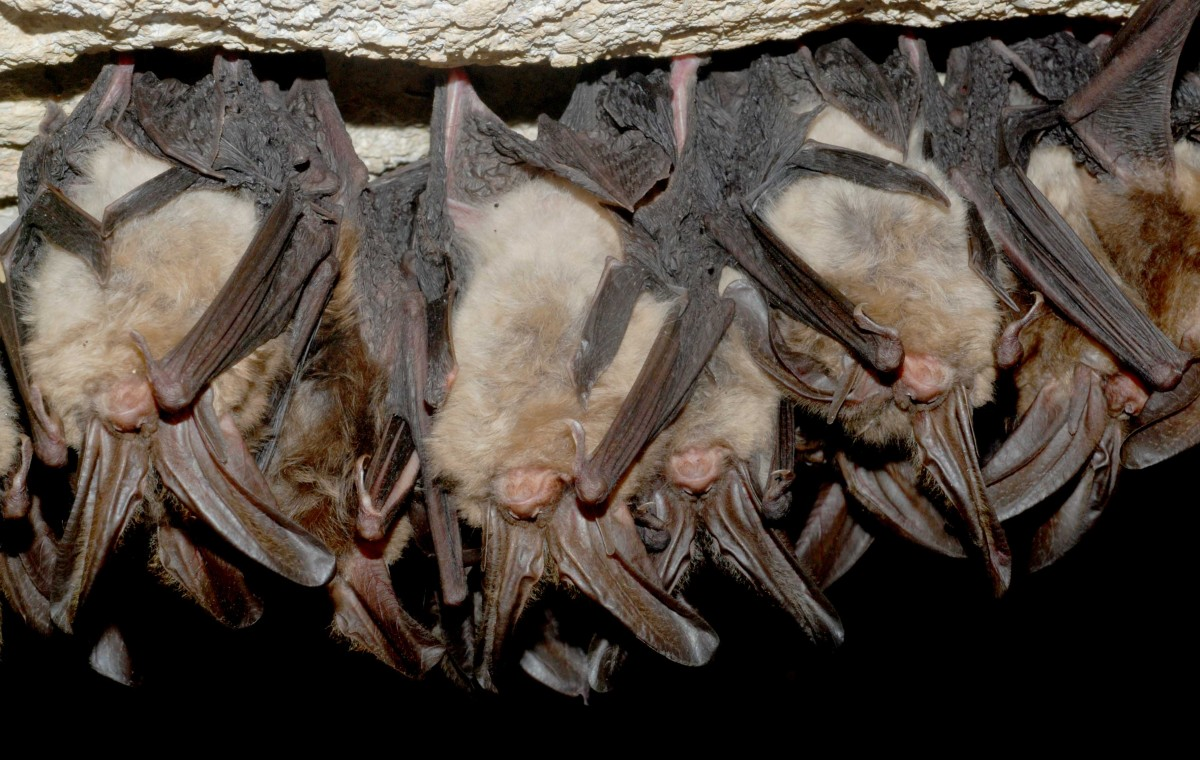 Lit by camera flash, a small group of fuzzy bats hang upside down hibernating in a dark cave.