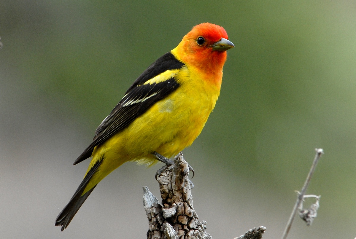 A small yellow bird with a red face perches on the end of a stick.