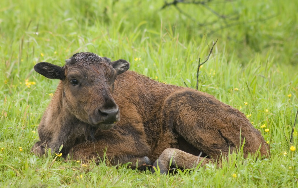 A furry bison calf is curled up on the grass.