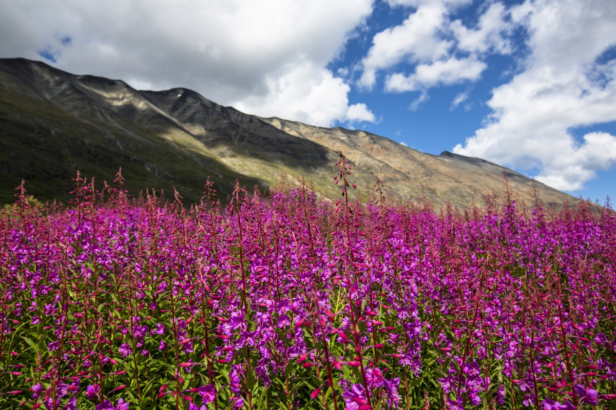 Bright pink flowers grow in a massive display of color at the base of a small mountain ridge.