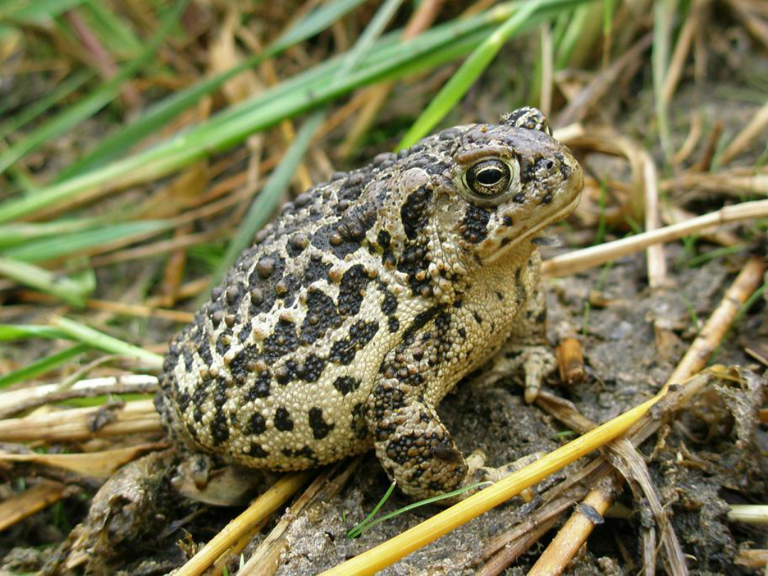 A yellow toad with black spots stands on wet ground.