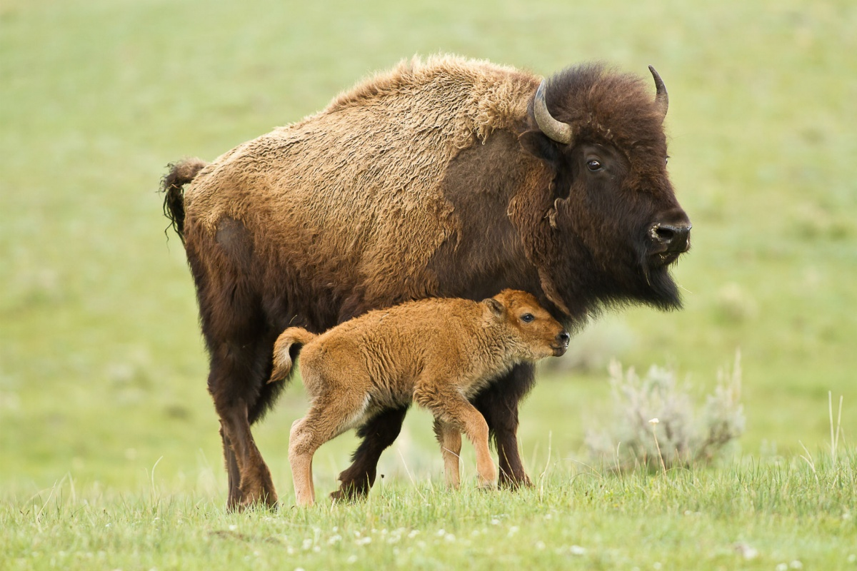 15 Facts About Our National Mammal: The American Bison   U ... Wind