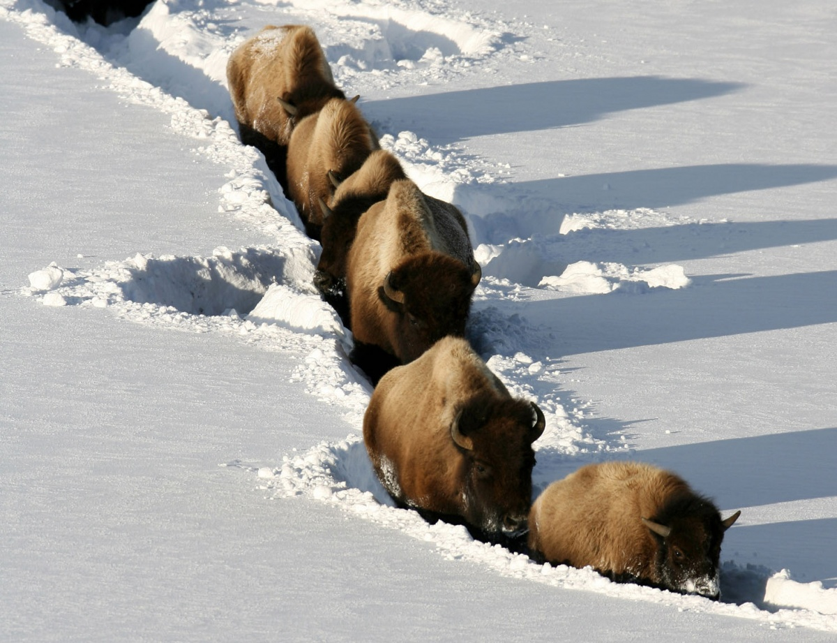 bison wade through the snow
