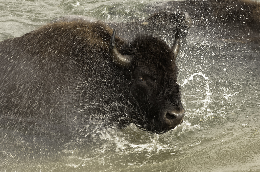 A bison charging through a river.
