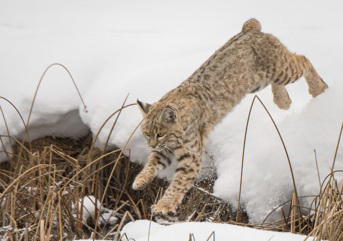 Bobcat leaps from snowbank.