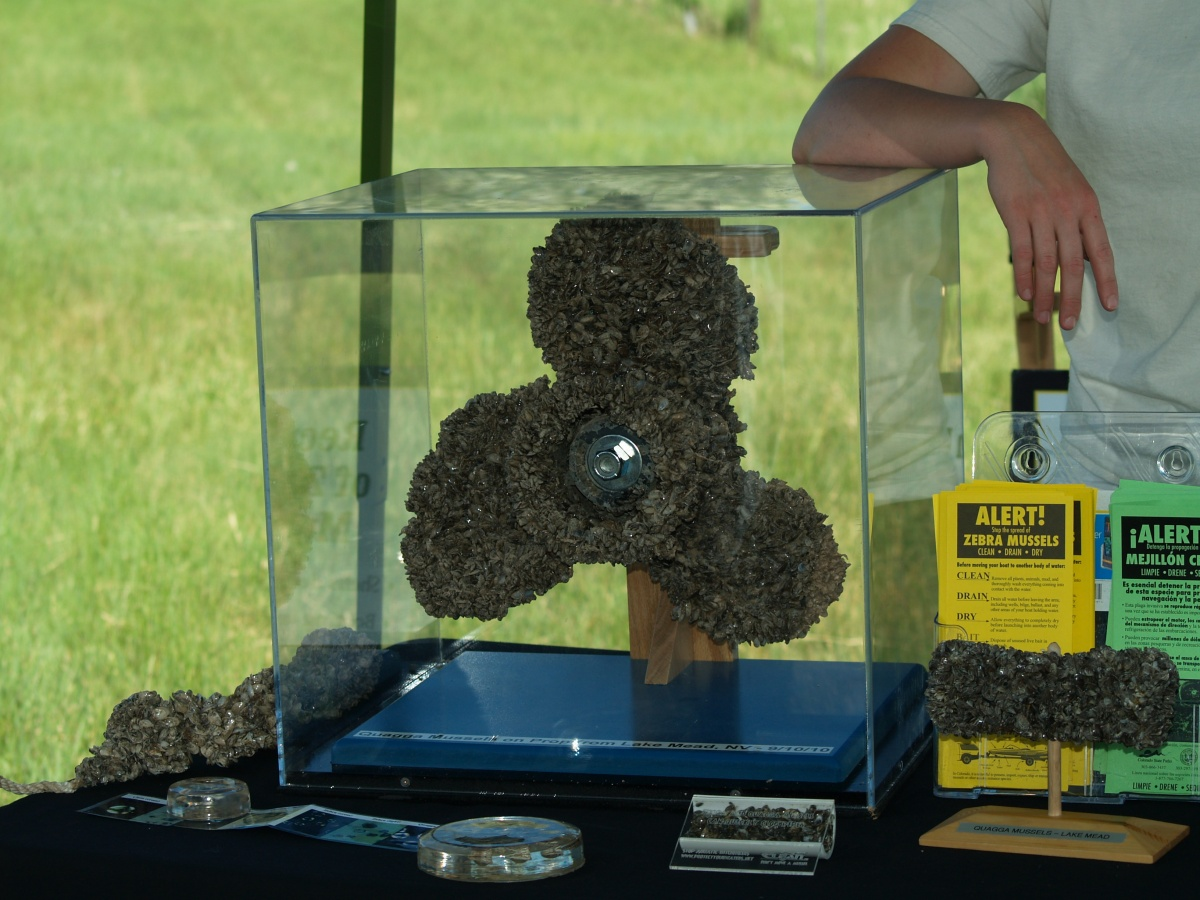 A glass enclosed display of a large colony of zebra mussels growing on a boat propeller.