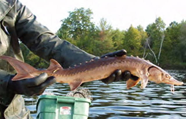 lake sturgeon being restocked in St. Lawrence River watershed